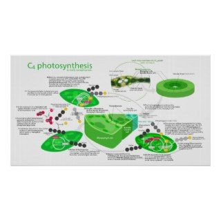 C4 Photosynthesis Diagram Poster