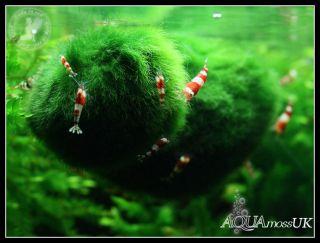 """Marimo Moss Ball """"Cladophora Aegagropila"""" Amazing Live Aquarium Plant Fish Tank"""