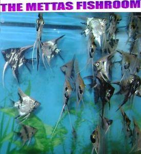 2 Live Mixed Angelfish High Quality Angel Fish Aquariums Community Fish Guppy