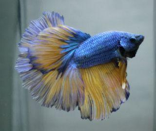 Live Tropical Fish Mustard Blue Dragon Full Mask Halfmoon Betta B7