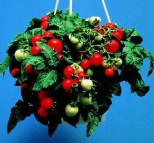 Micro Tom Tomato 25 Seeds Tomatoes on Little 8 inch Plants Grown in Your Window