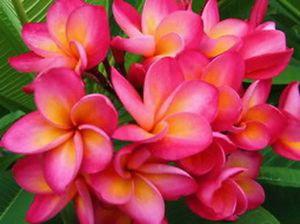 "Plumeria Plants Flowers ""Benz"" Fresh 50 Seeds"