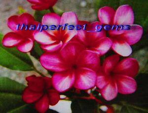 "Plumeria Frangipani Plants ""Ruby"" 50 Seeds"