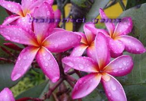 "Plumeria Frangipani Plants ""Rujee"" 50 Seeds"