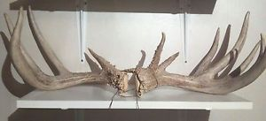 "Monster 187"" Whitetail Deer Shed Antlers Horns Horn Sheds Log Cabin Taxidermy"