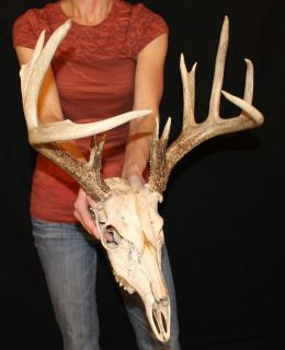 Great 13pt Whitetail European Mount Antlers Sheds Taxidermy Cabin Decor Craft