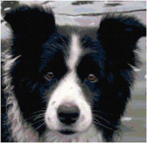 Border Collie Counted Cross Stitch Pattern Dog Design