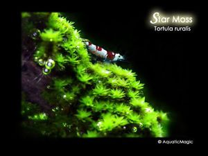 Star Moss Live Aquarium Plant Fish Tank Free SHIP BP
