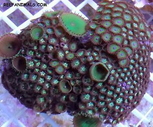 Toxic Mothman Kryptonite Zoanthid Polyps Combo Rock Live Coral Saltwater Fish