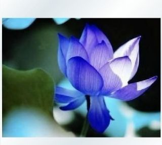 10 Blue Lotus Flower Seeds Beautiful Aquatic Plants Nelumbo Nucifera Pond Lotus