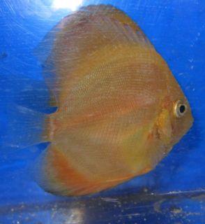 Live Discus Fish Tangerine Orange Live Freshwater Aquarium Fish