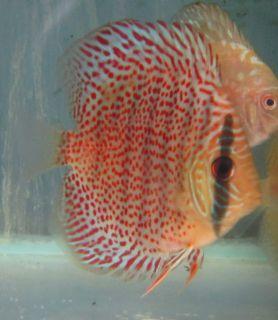 Red Leopard Discus Live Freshwater Aquarium Fish