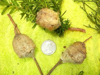 3 of Our Big Girls Praying Mantis Egg Cases Chinese Ootheca Insect Control 4913