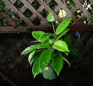 REDUCED Hoya Carnosa Solid Green Exact Plant Tropical Flowering Succulent H61