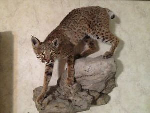 Bobcat Mount on Fake Rock Wall Mount