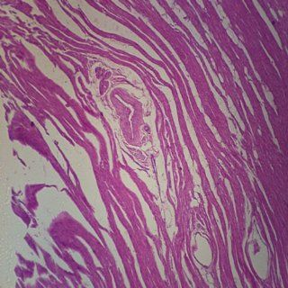 Mammal Muscle Types, sec. 7 µm H&E Microscope Slide: Industrial & Scientific